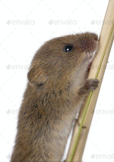 Harvest Mouse, Micromys minutus is a small rodent