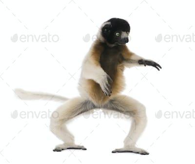 Young Crowned Sifaka, Propithecus Coronatus, 1 year old, dancing, studio shot