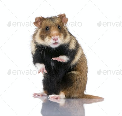 European Hamster, Cricetus cricetus, also known as the Black-bellied Hamster