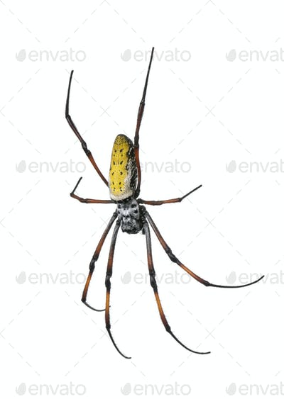 golden orb-web spider - Nephila inaurata madagascariensis