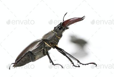 Side view of Male European Stag beetle, Lucanus cervus, against white background, studio shot