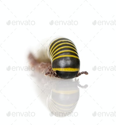 Black and yellow Millipede from Guyane against white background, studio shot