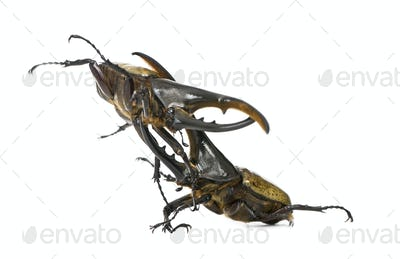 Male adulte Hercules beetles fighting, Dynastes hercules, against white background, studio shot