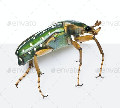 East Africa flower beetle, Stephanorrhina guttata, in front of white background, studio shot