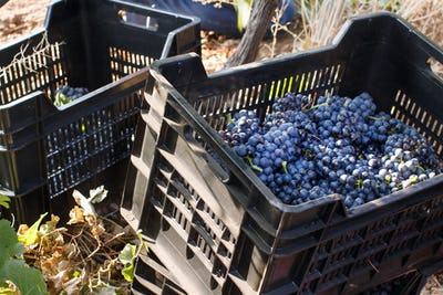 Vendemmia - grape harvest in a vineyard
