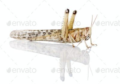 Side view of Desert Locust, Schistocerca gregaria, in front of white background, studio shot