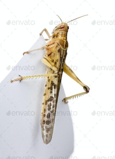 Desert Locust on piece of paper, Schistocerca gregaria, studio shot