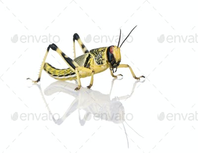 Larva of Desert Locust, Schistocerca gregaria, standing against white background, studio shot