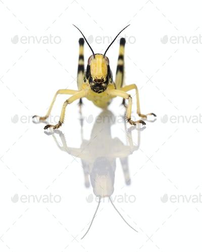 Larva of Desert Locust, Schistocerca gregaria, in front of white background, studio shot