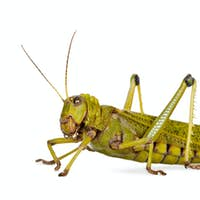 Side view Giant guianas locust, Tropidacris collaris, against white background, studio shot