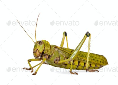 Side view Giant guianas locust, Tropidacris collaris, against white background, studio shot