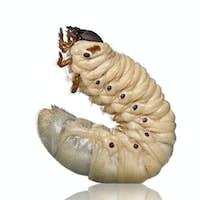 Larva of a Hercules beetle, Dynastes hercules, against white background, studio shot