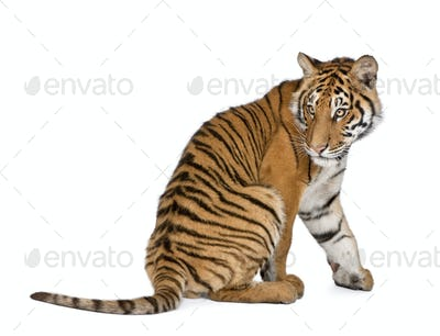 Bengal tiger 1 year old