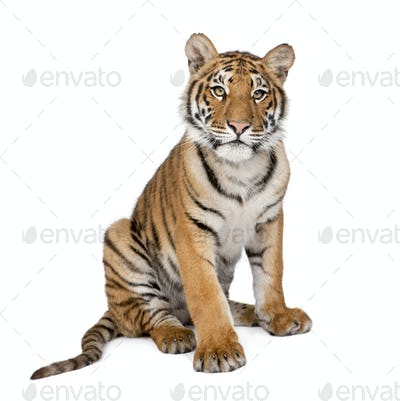 Portrait of Bengal Tiger, 1 year old, sitting, studio shot, Panthera tigris tigris