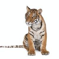 Bengal tiger 1 year old