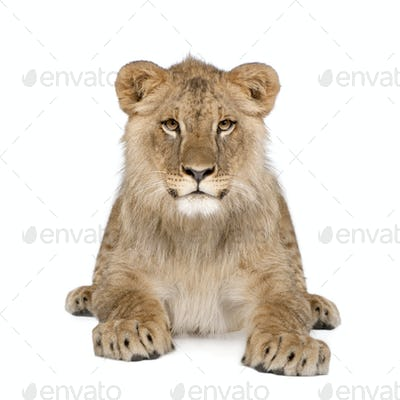 Portrait of lion cub, Panthera leo, 8 months old, sitting in front of white background, studio shot