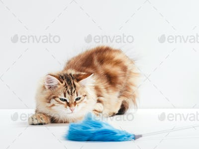 A funny kitten playing with cat toy, feather