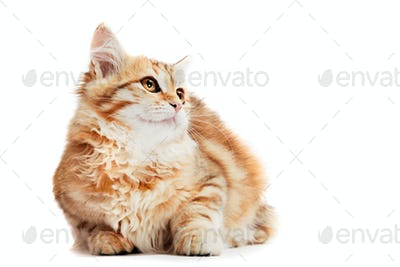A kitten, siberian cat with happy expression isolated on white