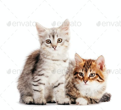 Siberian cats, two kittens from same litter isolated on white
