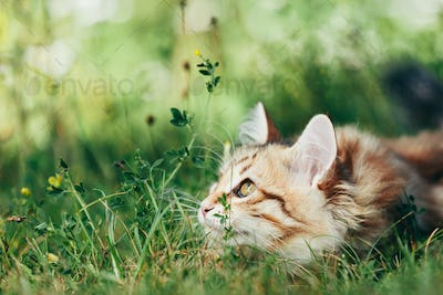 A kitten - Siberian cat hunting in grass