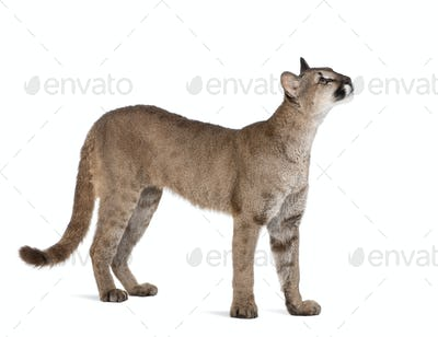 Puma cub - Puma concolor (1 year old)