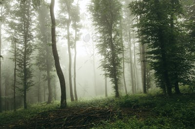 green trees in misty forest