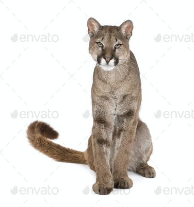 Portrait of Puma cub, Puma concolor, 1 year old, sitting, studio shot