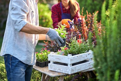Guy gardener in garden gloves puts the pots with seedlings in the white wooden box on the table and
