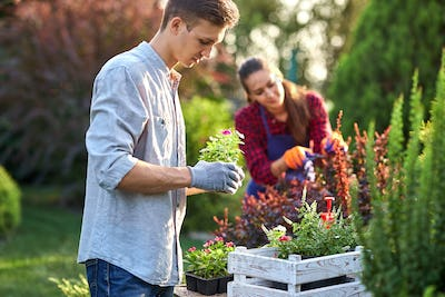 Careful guy gardener in garden gloves puts the pots with seedlings in the white wooden box on the