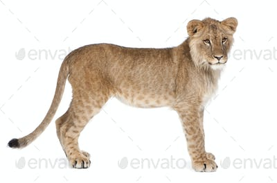 Side view of Lion cub, 8 months old, standing, studio shot