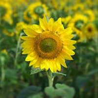 Sunflower portrait.