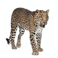 Portrait of leopard, Panthera pardus, standing, studio shot