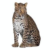 Portrait of leopard, Panthera pardus, sitting against white background, studio shot