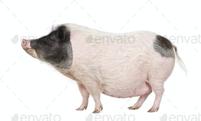 Side view of Gottingen minipig standing against white background, studio shot