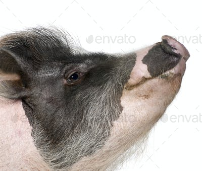 Side view of Gottingen minipig in front of white background, studio shot