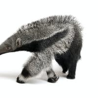 Young Giant Anteater (3 months old) - Myrmecophaga tridactyla