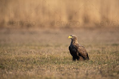 Adult white-tailed eagle sitting on the ground at sunrise with copy space