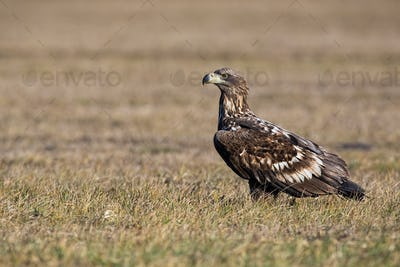 Young white-tailed eagle sitting on the ground at sunrise in winter