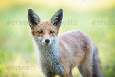 Close-up of red fox head in wilderness in spring time