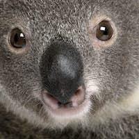 Close-up portrait of male Koala bear, Phascolarctos cinereus, 3 years old