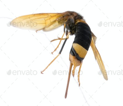 Horntail or wood wasp, Urocerus gigas, in front of white background, studio shot