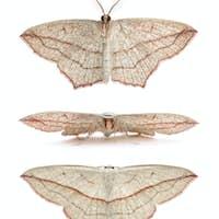 Blood-vein moths, Timandra comae, in front of white background, studio shot