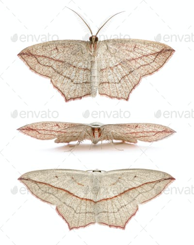 Blood-vein moths, Timandra comae, in front of white background, studio shot