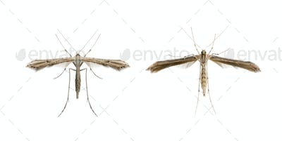 High angle view of two moths, Lepidoptera, in front of white background, studio shot