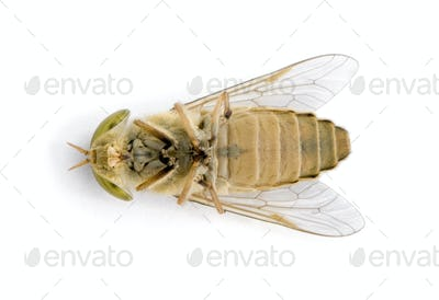 Horse-fly, Atylotus rusticus, against white background, studio shot