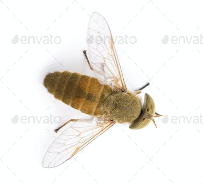 High angle view of Horse-fly, Atylotus rusticus, in front of white background