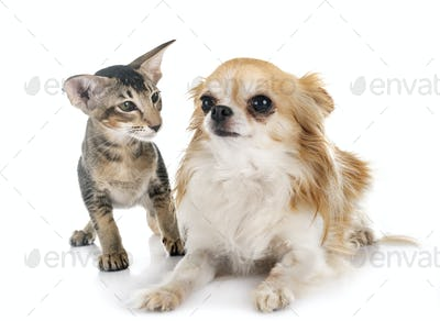 oriental kitten and chihuahua