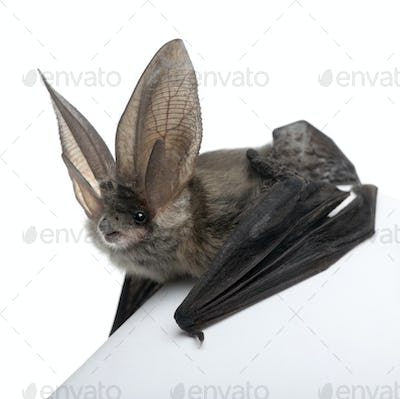 Grey long-eared bat, Plecotus astriacus, in front of white background, studio shot