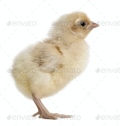 Polish Chicken, 1 day old, standing in front of white background
