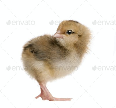 Araucana, also known as a South American Rumpless, 3 days old, standing in front of white background